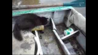 Смешная кошка ловит рыбу из воды для котят