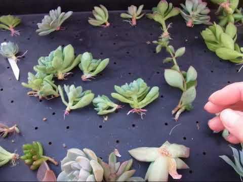 植物 育て 方 カット 苗 多肉
