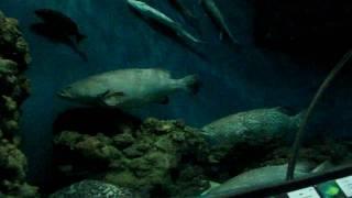Акулы, групперы... (шанхайский океанариум, сентябрь 2010)(, 2011-01-31T20:53:36.000Z)