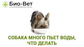 Собака много пьет воды, что делать. Ветеринарная клиника Био-Вет.
