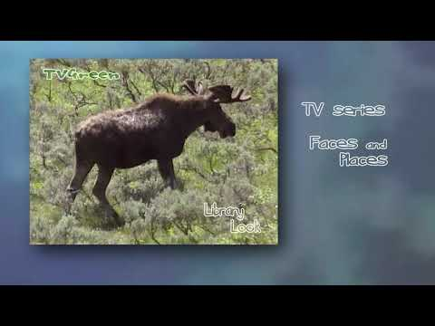 FaunaView: Yellowstone National Park - Moose Encounters