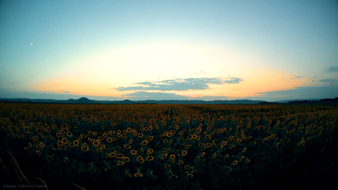 3h video in 4k relax session - sunflower field with gentle wind ...