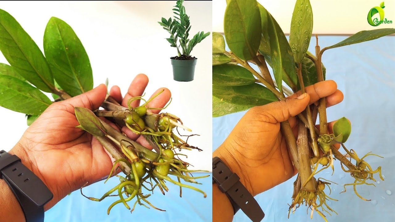 ZZ Plant Stem Propagation/ZZ Plant Stem Cuttings Water ...