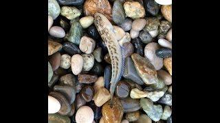 Фото Как меня уколол морской дракончик самая ядовитая рыба Чёрного моря.
