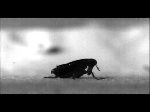 Mystery of how fleas jump resolved