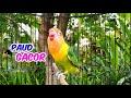 Lovebird Paud Gacor Ngekek Ampuh Untuk Memancing Lovebird Bahan Agar Bunyi  Mp3 - Mp4 Download