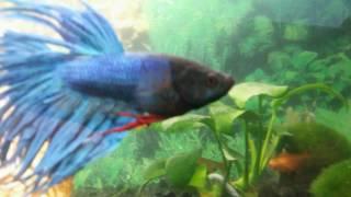 Бойцовская рыбка Вилли атакует - RUN(Awolnation)