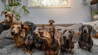 1 Hour of Funny Miniature Dachshund dogs instagram videos 2021  Enjoys with Funny Dachshunds