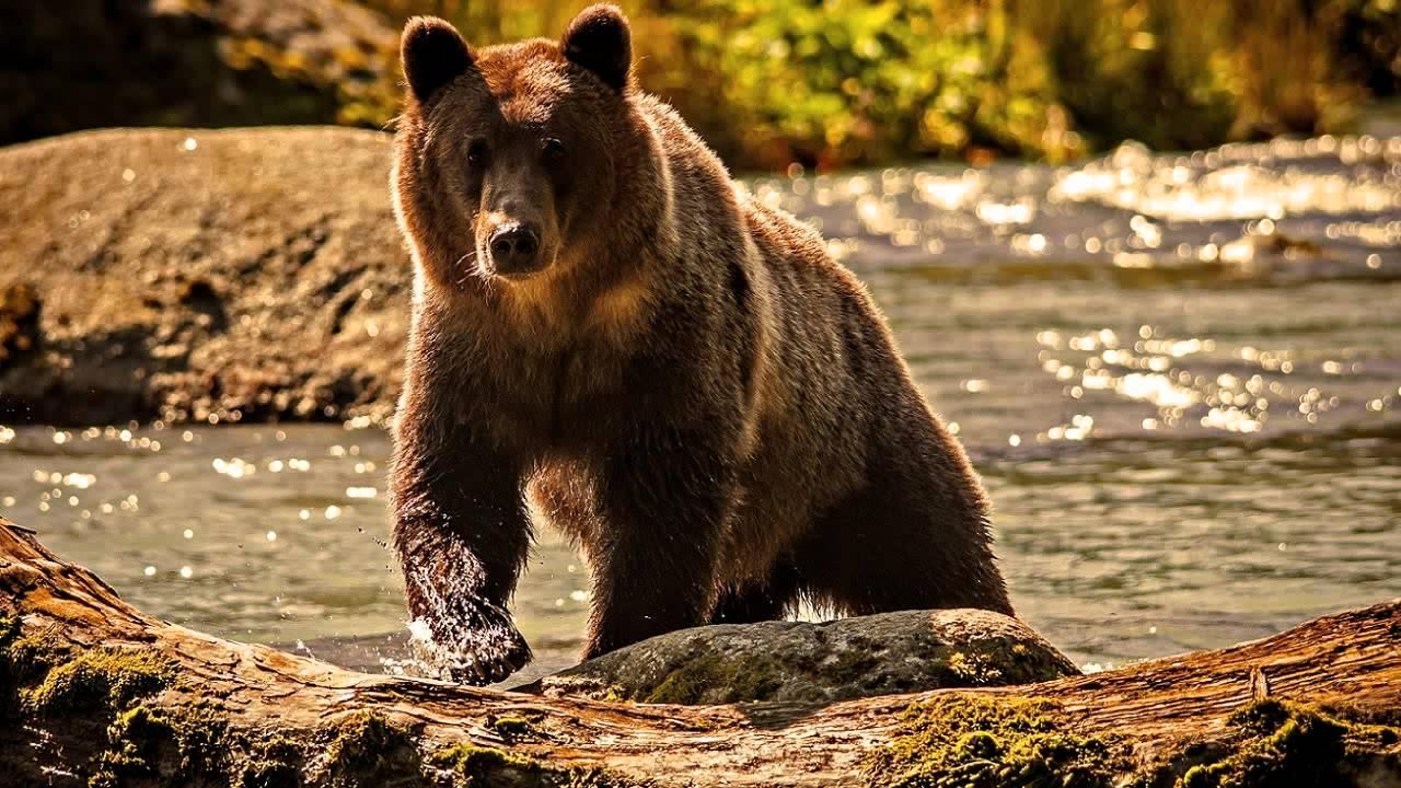 Grunhido de urso