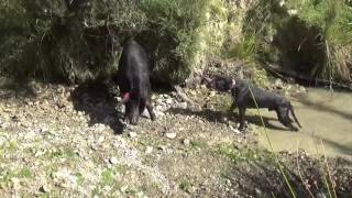 pig hunting nz,couple good pigs