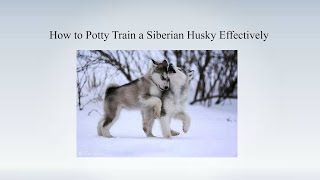 How To Potty Train My Siberian Husky Puppy | House Training A Siberian Husky Myths