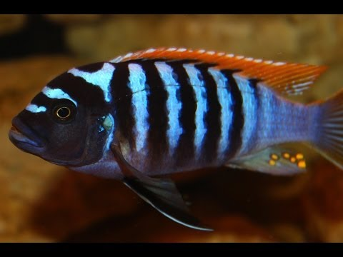 "African Cichlid Species - Metriaclima Pyrsonotos ""Red Top Zebra"" (Nakatenga) Male and Female"