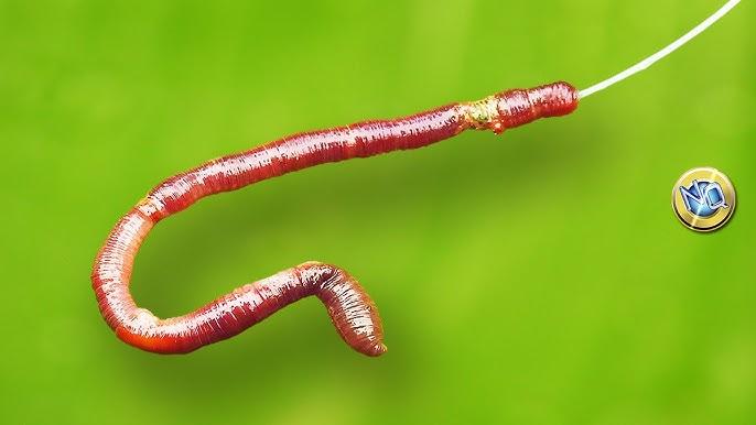 Como Poner Lombriz En El Anzuelo De Pesca How To Put Earthworm On The Hook Youtube