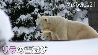 Polar Bear 'Lila' play with snow ホッキョクグマ リラの雪遊び