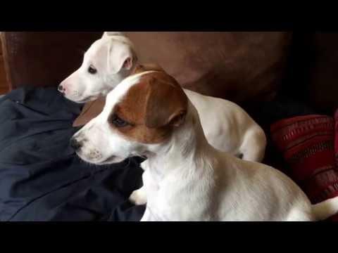 Puppies discovered DogTv - Des Chiots découvrent DogTv! Trop cute!