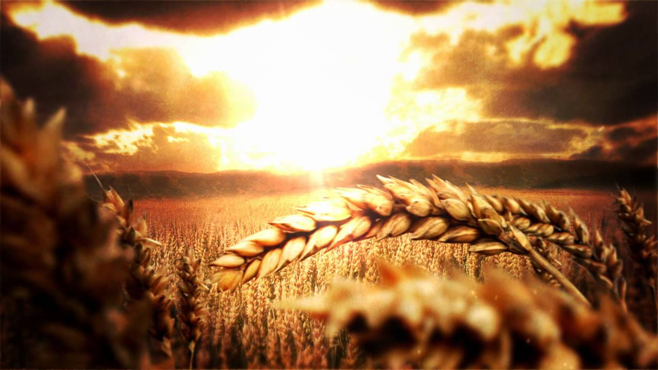 Free Animation For Your Islamic Videos Or Nasheeds Wheat Field Bg