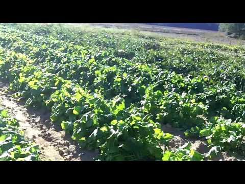 Growing Organic food - Greens - Kale - Peppers - Sweet Potatoes VIDEO 2