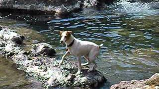 Jack Russell Terrier Vs. The Collowash River 1