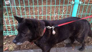 早朝に公園へやってくる甲斐犬のはなちゃんの傑作集。 Movie by SlideSt...