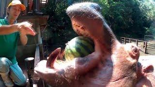 地球上の動物でスイカをまるごと噛み潰せるのはカバぐらいでしょうか?...