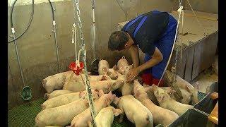 Tierwohl in der Schweinehaltung: Reduzierung des Schwanzbeißen bei unkupierten Ferkeln