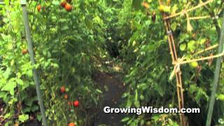 Growing Green Zebra Tomato