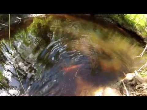 Eesti Forell,  Estonian Brown Trout