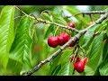 🍒Como reproducir por acodo aereo un cerezo.🍒