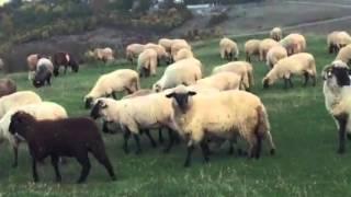 If sheep follow the stranger or shepherd experiement thumbnail