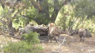 Vultures and Hyenas Eat Hippo - Londolozi