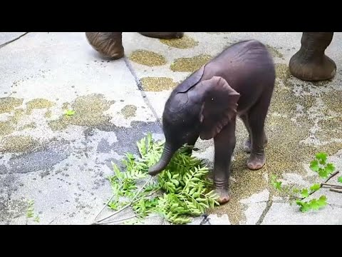 Watch: Vienna zoo presents artificially-conceived baby elephant
