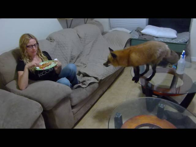 Red fox behaving around pizza