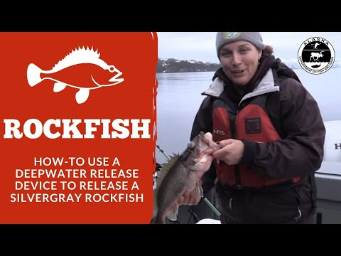 How To Use A Deepwater Release Device To Release A Silvergray Rockfish