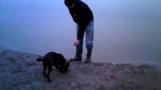 Puppy Weimaraner X Labrador 19 Weken Oud.