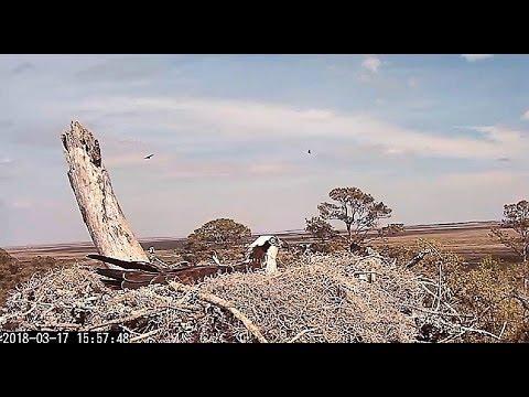 Vulture Family Outing near Skidaway Island Osprey Nest 2018 03 17 15 59 47 151