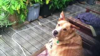 鳴き声が独特の犬、近所の犬たちとの「遠ぼえ合戦」