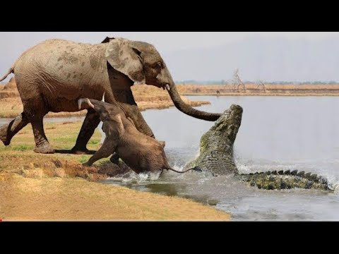 Download Most Incredible Crocodile Attack Moments - Crocodile vs Lions, Wildebeest, Elephants & other Animals