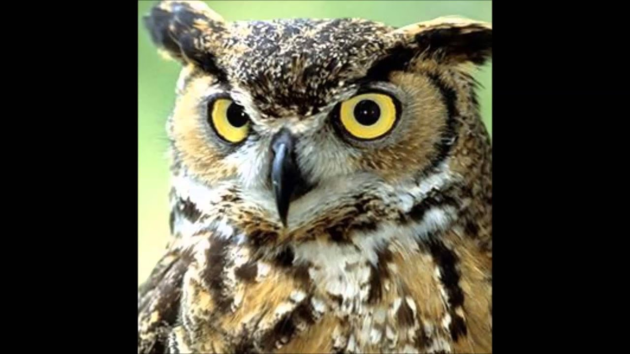 Great Horned Owls Territorial Hoot Youtube