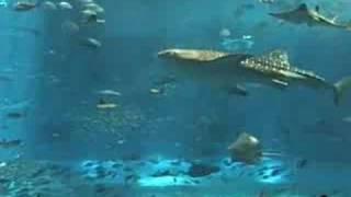 沖縄 美ら海水族館(ちゅらうみ) 体長10Mのジンベエザメ マンタ thumbnail