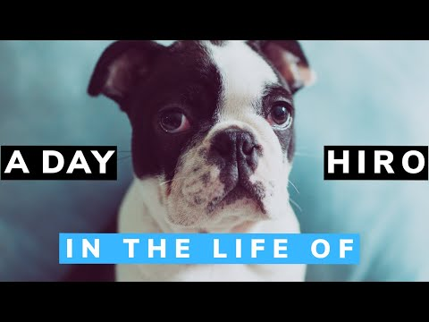 Dog daily routine   Puppy day life   SUPER HIRO   Boston terrier cute puppy
