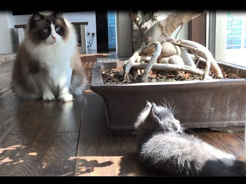 Timo The Ragdoll Cat Meets Kitten For The First Time