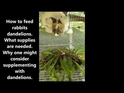 Feeding rabbits dandelions.