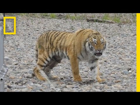 Siberian Tiger Rescued From City Streets, Returned to Wild | National Geographic