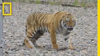 Siberian Tiger Rescued From City Streets, Returned to Wild National Geographic