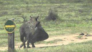 hyena with elephants ear(2)