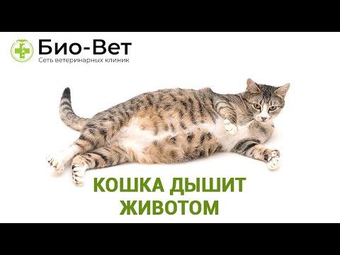 Вопрос: Почему у кота провисает часть живота?