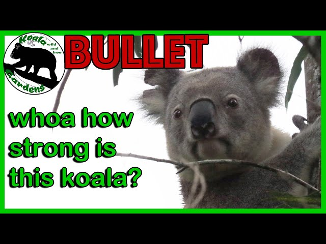 Koala strength 🐨💪 - the cutest animal that is so athletic when you watch what Bullet can do!