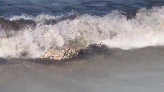 Aparece un cadáver de delfín en avanzado estado de descomposición en Cala Mitjana (Mallorca)