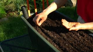 Planting Carrots in Containers Featuring: Sugar snax, early mocum, Bolero, Deep purple