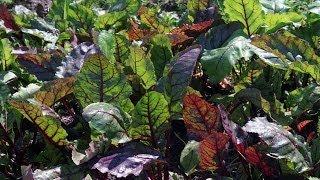 Beet Greens Health Benefits - Nutritionist Karen Roth - San Diego